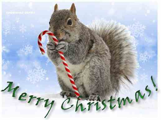 Christmas Squirrel.1230 Merry Christmas Squirrel With Candy Cane
